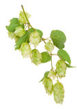 Branch of hops Stock Image