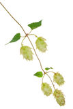 Branch of hops Stock Photo