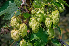 Branch of hops closeup Royalty Free Stock Photos