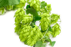 Branch of hops closeup Royalty Free Stock Image