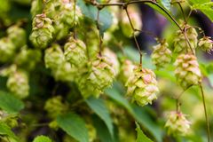 Branch of hops. Cones with sunbeams. Green leaves. Royalty Free Stock Photos