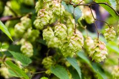 Branch of hops. Cones with sunbeams. Green leaves. Royalty Free Stock Images