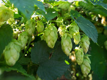 Branch of hops. Cones with sunbeams. Royalty Free Stock Image
