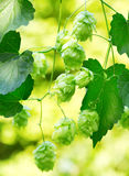 Branch of hops in a garden Royalty Free Stock Images