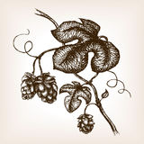 Branch of hops hand drawn sketch style vector Royalty Free Stock Images