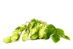 Branch of hops. Stock Photo