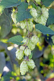 Branch of hops with knobs Stock Photo