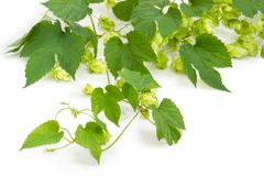 Branch of hops with leaves and seed cones closeup Royalty Free Stock Images