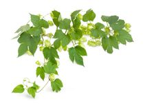 Branch of hops with leaves and seed cones Stock Photos