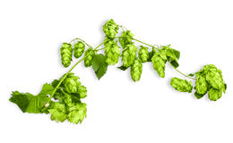 Branch of hops Royalty Free Stock Photo
