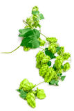 Branch of hops Royalty Free Stock Photography