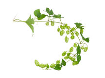 Branch of hops on a light background Stock Image