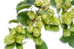 Branch of hops with reflection Stock Photo