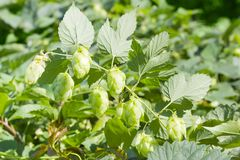 Branch of hops with leaves and seed cones Stock Image