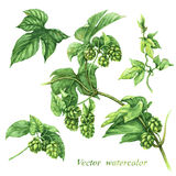 Branch of hops. Watercolor image of hops branch fragments isolated on white stock illustration