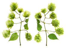 Branch of hops Royalty Free Stock Photos
