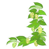 Branch of hops on white background Royalty Free Stock Photo