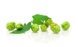 Branch of hops on a white background with reflection Stock Images