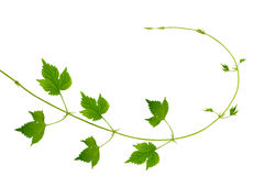 The branch of hops with young leaves and buds/  / Stock Photos