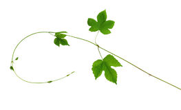 The branch of hops with young leaves, isolated without shadow. Stock Image