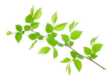 Branch of hornbeam with green toothed leaves. On white background royalty free stock photography