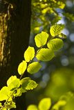 The Branch of Hornbeam tree Royalty Free Stock Photography