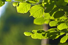 The Branch of Hornbeam tree Stock Images