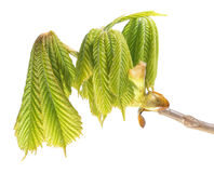 Branch of horse chestnut with green leaves isolated on white background Stock Photography