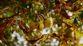Branch of a horse chestnut tree in autumn. Sunlit fall foliage discoloration. stock images