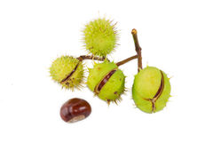 Branch with  horse  chestnuts on a light background Stock Photography