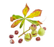 Branch with horse chestnuts on a light background. Branch with a withered leaf and ripe horse chestnuts in its green cracked prickly shell and several cleared Stock Photography