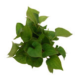 Branch of houttuynia cordata fish herb Royalty Free Stock Photos