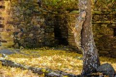 Branch hugging the tree trunk in Umbralejo Guadalajara in autumn royalty free stock photo