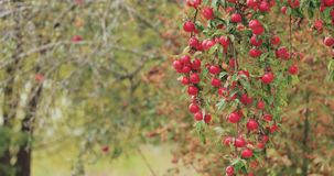 Branch hung with ripe red apples in autumn season stock footage
