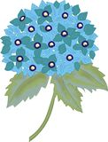 Hydrangea macrophylla blue. Branch of Hydrangea macrophylla blue vector illustration
