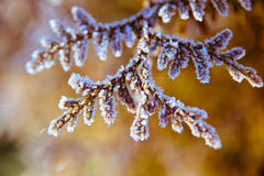Branch with ice crystals Royalty Free Stock Images