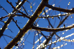 Branch with icicles on blue sky on sunny winter day Royalty Free Stock Photography