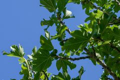 A branch of the quince tree with unripe fruits against the blue sky. royalty free stock images