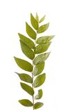 Branch of indian curry leaves isolated on white Royalty Free Stock Images