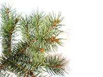 branch isolated pine στοκ φωτογραφία με δικαίωμα ελεύθερης χρήσης