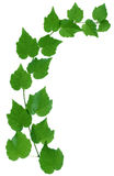 Branch of ivy Stock Photos