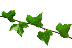 Branch of ivy Stock Image