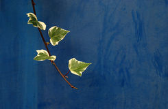 Branch ivy on a blue background Stock Image