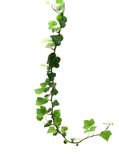 Branch of ivy isolated on white Royalty Free Stock Photo