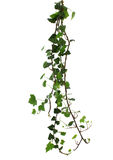 Branch of ivy isolated on white Royalty Free Stock Images