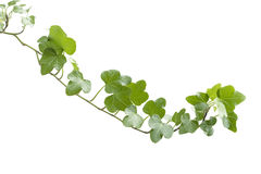 Branch ivy on a white background Royalty Free Stock Photo