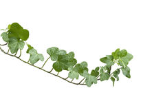 Branch ivy on a white background Stock Images