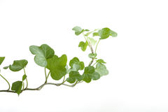 Branch ivy on a white background Stock Photography