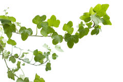 Branch ivy on a white background Royalty Free Stock Image