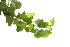 Branch is ivy on a white background Royalty Free Stock Image
